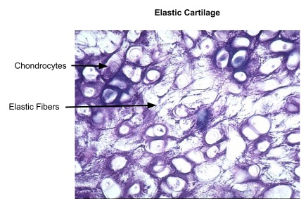 Elastic Cartilage Definition Location Functions And Pictures