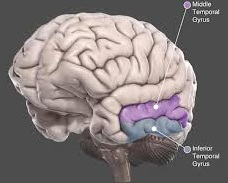 Inferior temporal gyrus Picture