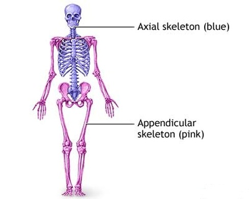 Axial skeleton Picture