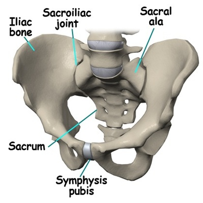 Ala of Sacrum - Definition, Anatomy, Functions and Pictures - Body Terms