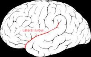 Lateral sulcus Picture