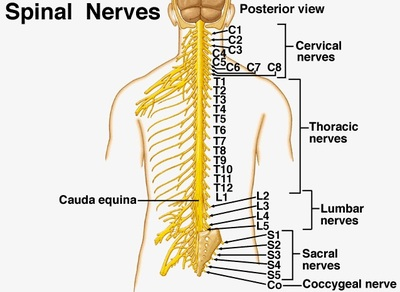 Coccygeal nerve Picture