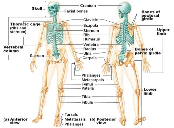 Axial Skeleton Definition Functions And Pictures Body Terms