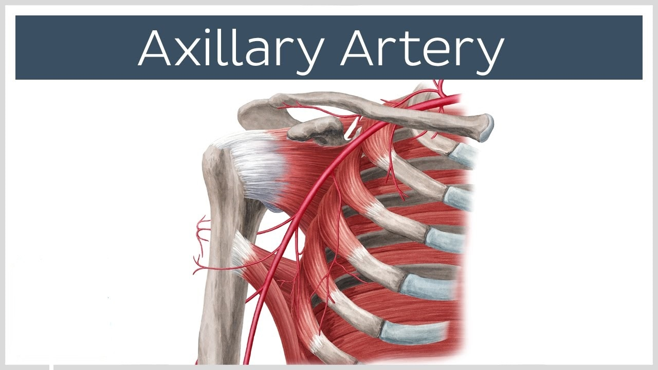 Axillary Artery Picture