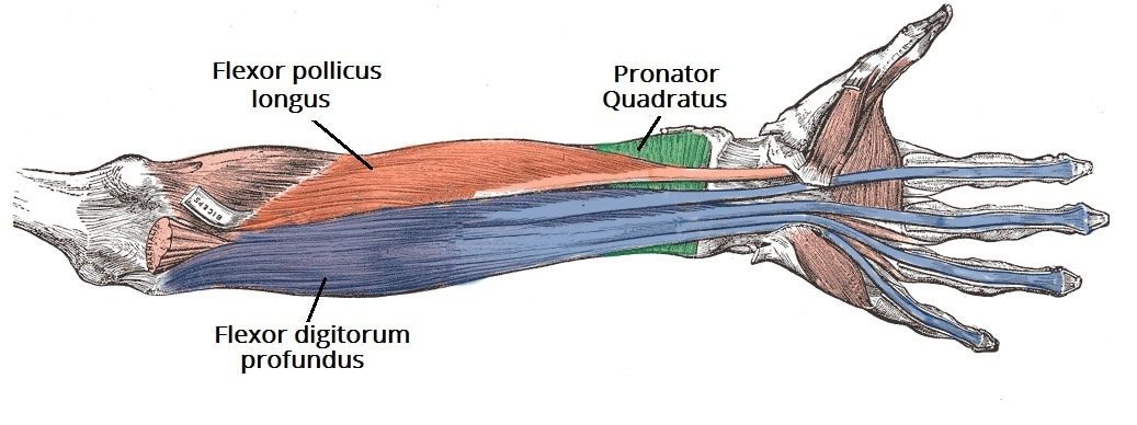 Flexor digitorum profundus Picture